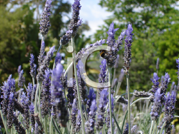 Royalty Free Photo of a Bee on Lavender