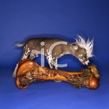Royalty Free Photo of a Chinese Crested Dog Smelling a Big Bone