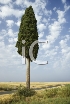 One cypress tree in field in Tuscany, Italy.