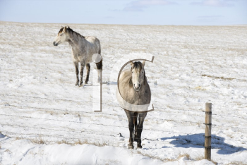 Royalty Free Photo of Two Horses in a Snowy Pasture Behind a Fence