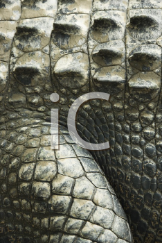 Royalty Free Photo of a Close-up of a Crocodile Showing Scaly Skin, Australia