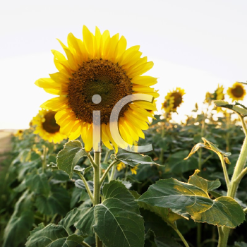 Royalty Free Photo of Sunflowers Growing in a Field