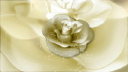 Royalty Free Video of a Rotating White Rose