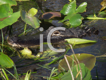 Royalty Free Photo of a Hidden Alligator in the Florida Everglades