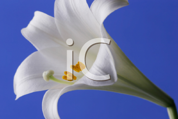 Royalty Free Photo of an Easter Lily Closeup