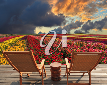 Two chaise lounges for rest stand on a scaffold at a picturesque flower field.  The spring blossoming buttercups  grow multi-colored strips. Huge cloud covered sunset