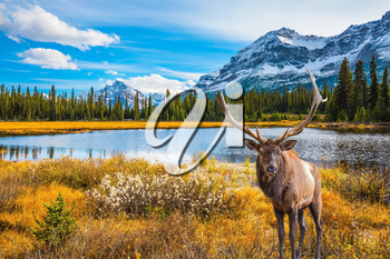 Magnificent red deer with branched antlers grazes in thick grass at the lake. The beautiful nature in northern Rocky Mountains of Canada