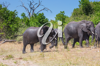 Botswana, Chobe National Park. Herd of African elephants at the watering. The concept of exotic and active tourism