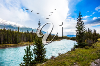 The grandiose nature of the Rocky Mountains. Coniferous green forests grow along the shores of a river. Flock of migratory birds flies over the river. The concept of active tourism