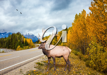 Deer with branched horns near the road. Travel to the Rockies of Canada. The road 93 Icefields Parkway. The concept of active tourism