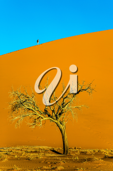 Namibia, South Africa. The concept of extreme and exotic tourism. Giant yellow-orange dune and small lonely tree in the Namib Desert