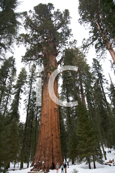 General Sherman giant sequoia tree