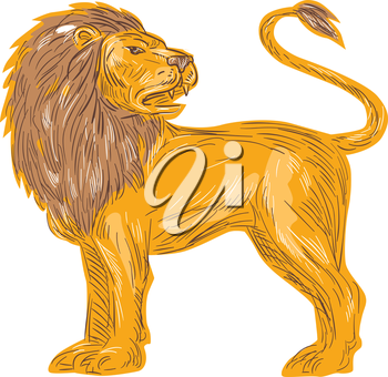 Drawing sketch style illustration of an angry lion big cat roaring showing teeth fangs looking to the back viewed from the side  set on isolated white background.
