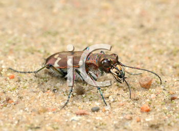 Royalty Free Photo of a Small Predatory Beetle, Tigerbeetle (Cicindela Hybrida).