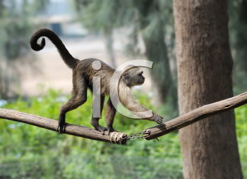 Royalty Free Photo of a Monkey on a Branch