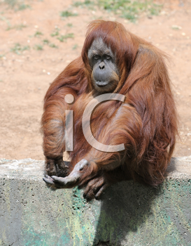 Royalty Free Photo of an Orangutan With Its Hand Out