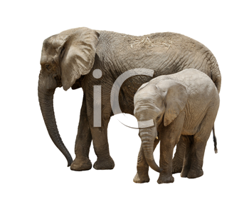 Royalty Free Photo of a Mother and Baby Elephant