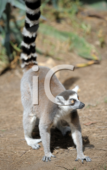 Royalty Free Photo of a Lemur and Babies