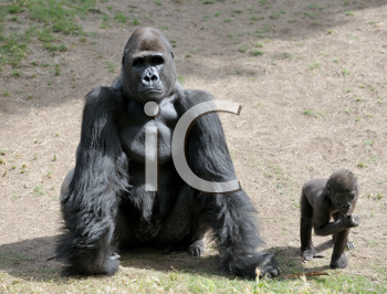 Royalty Free Photo of a Parent and Baby Gorilla