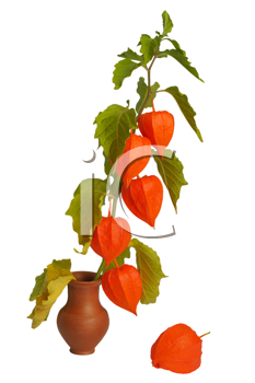 Physalis, the brightest autumn plant, twig in a clay pot