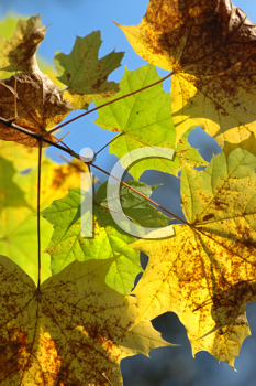 Royalty Free Photo of Autumn Leaves