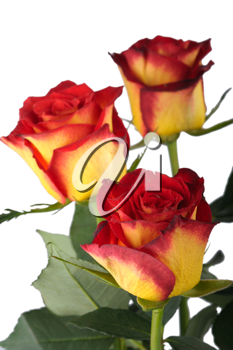Red and yellow roses, isolated on a white background