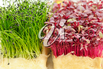 Cress varieties scarlet and rock chives on artificial substrate, close-up