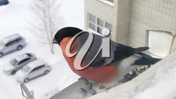 Bullfinch male eats seeds from feeder on the window of the house. Concept of feeding birds in winter. Slow motion video