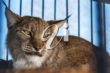 Portrait of the lynx in a zoo