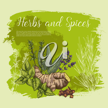 Herbs and spices sketch poster. Vector peppermint and ginger root, cloves seeds and spicy sage leaf. Seasonings and culinary herbal condiments of basil or oregano, rosemary, sage bay or thyme