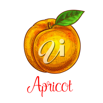 Apricot fruit sketch. Vector isolated icon of fresh prune species with leaf. Sweet juicy whole apricot fruit symbol for jam and juice product label or grocery store, shop and farm market design