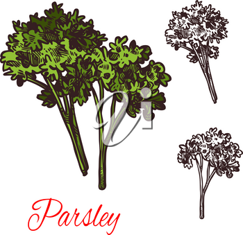 Parsley seasoning spice herb sketch icon. Vector isolated parsley plant for culinary cuisine cooking or flavoring herbal seasoning ingredient or grocery store and market design
