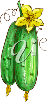 Two cucumbers with yellow flower isolated green veggies. Vector pickles with blossom, vegetable sketch