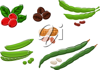 Assorted fresh legumes with peas, runner and kidney beans, peanuts in their pods and coffee beans. Isolated on white, vector