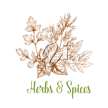 Spices and aromatic herbs bunch of sketched parsley, arugula and basil or mint and peppermint leaves and rosemary. Herbal spicy culinary condiments or aroma flavoring plants for grocery store, farmer