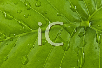 Royalty Free Photo of a Green Leaf With Water Droplets
