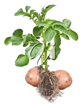 Potato sprout