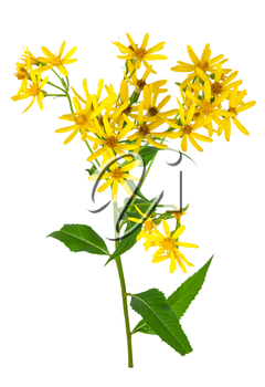 Common goldenrod
