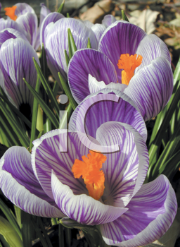 Royalty Free Photo of Crocuses