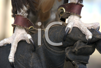 Royalty Free Photo of a Falcon's Talons