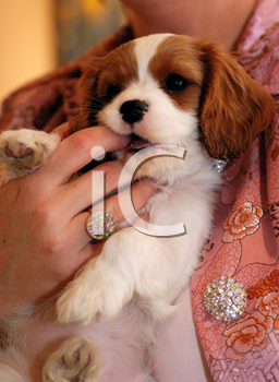 Royalty Free Photo of a Person Holding a Puppy