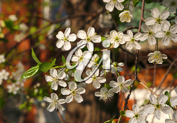 Branch of a fruit spring tree with beautiful white flowers