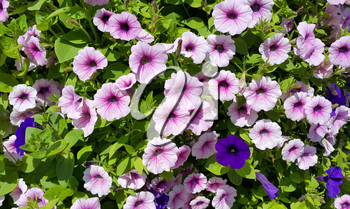 Flowers of petunia natural bright background