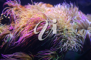 Amazing marine animals closeup in aquarium (anemonia, actinia, anemone)
