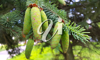 Branch of coniferous tree with young green cones, closeup