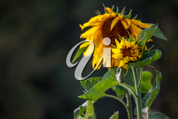 Blooming flowers. Sunflowers on a green grass.  Meadow with sunflowers. Wild flowers. Nature flower. Sunflowers on field. Sunflower is tall plant of the daisy family, with very large golden-rayed flowers.