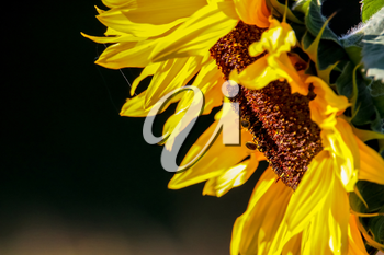 Closeup of sunflower. Twoo bees on sunflower. Sunflower in summer day. Blooming sunflower. Sunflower is tall plant of the daisy family, with very large golden-rayed flowers.
