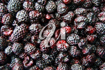 Fresh blackberry on white background.Much berries of blackberry