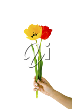 Royalty Free Photo of a Woman's Hand Holding Tulips