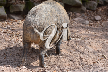 Butt and legs of a big wild boar close up